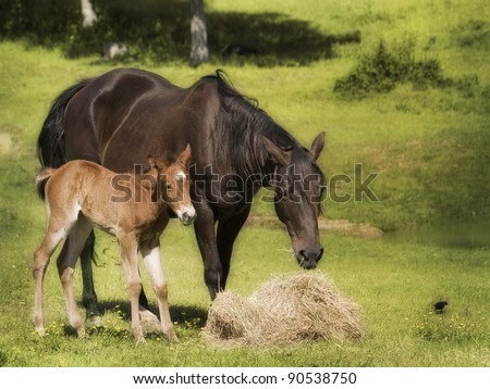 Beautiful mother and baby horse eating hay - stock photo