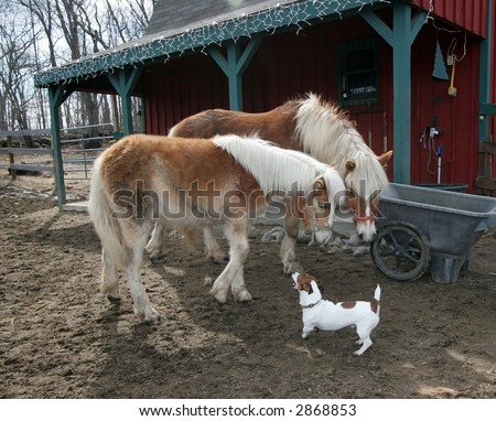beautiful mother and young filly horses looking at jack russell terrier