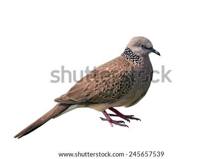 Beautiful mourning dove bird on white background - stock photo