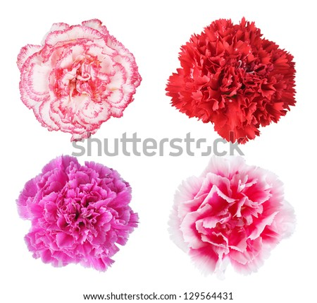Beautiful multicolored carnations isolated on white background - stock photo
