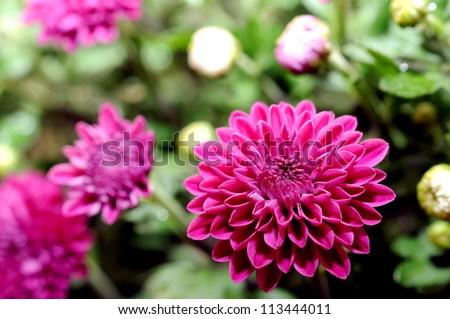 Magenta-Mums-Flowers