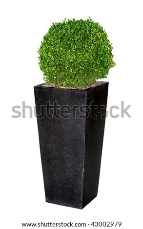 Beautiful myrtle tree in granite vase isolated on white background - stock photo