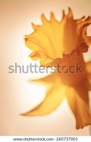 Beautiful narcissus flower close up - stock photo