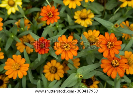 Beautiful Narrowleaf Zinnia flowers.