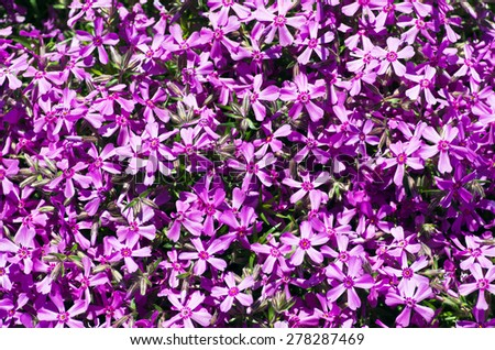 Beautiful natural background of small purple flowers - stock photo