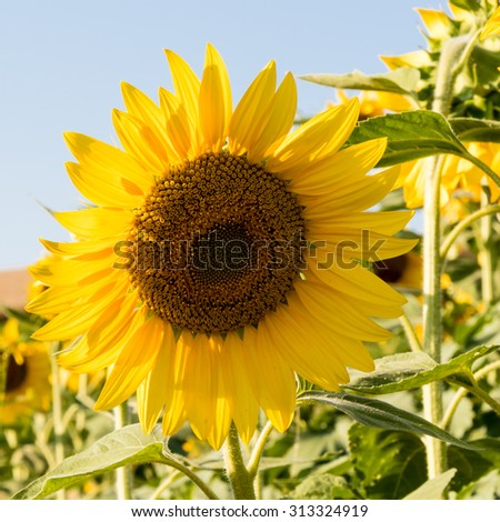 beautiful natural big vibrant sunny sunflower plant - stock photo