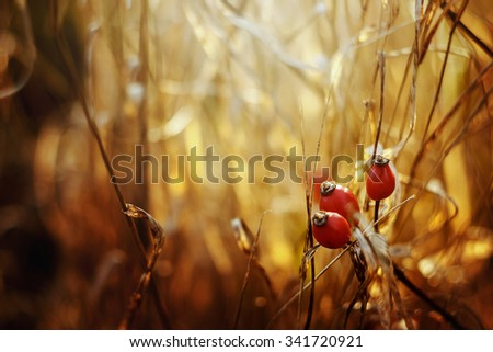 beautiful natural fresh red berries of dog-rose on a branch and herbs on the background of sunny autumn forest