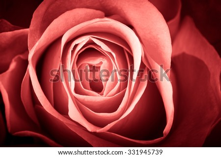 Beautiful natural roses for example for postcard, calendar or other kind of decoration. Toned. - stock photo