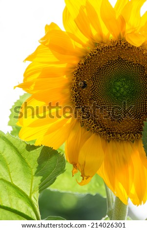 Beautiful natural yellow large sunflower over a white background and backlit with a little bee polinating the flower - stock photo