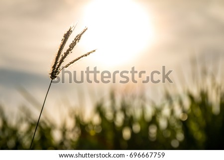 Beautiful Nature of Sunset light on grass with sunlight background