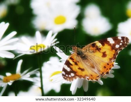 beautiful nature scene butterfly on daisy flower - stock photo
