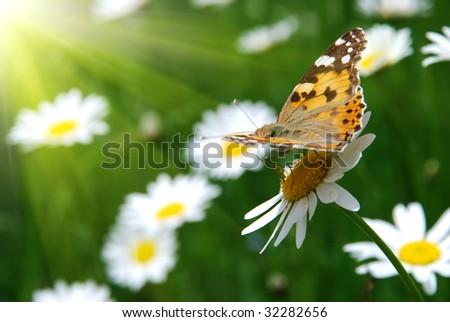 beautiful nature scene butterfly (Vanessa perdui) on daisy flower - stock photo