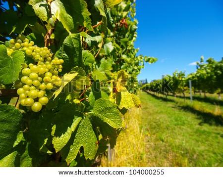 Beautiful New Zealand vineyard - stock photo