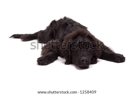 Beautiful Newfoundland dog about 1 year old - stock photo