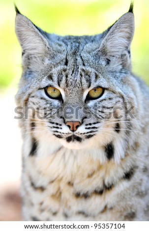 beautiful north american bobcat, yellowstone national park, idaho / wyoming, united states. full frame close up face exotic feline cat pussycat predator - stock photo