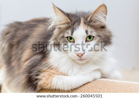 Beautiful Norwegian forest cat with great green eyes - stock photo