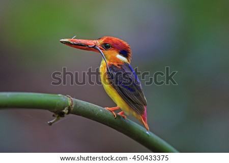 Beautiful of Black-backed Kingfisher or Oriental dwarf kingfisher (Ceyx Erithaca) perching on the bamboo branch carrying  long tail lizard in the mouth to feed its chicks, in nature of Thailand