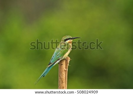Beautiful of Blue-throated Bee-eater (Merops viridis), standing on branch, showing its side profile in nature green background