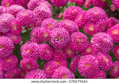 Beautiful of Chrysanthemum pink flowers in garden. - stock photo