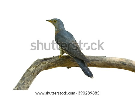Beautiful of Cuckoo Bird, Himalayan Cuckoo (Cuculus saturatus), standing on branch showing it side profile in nature of Thailand, isolate on white background - stock photo