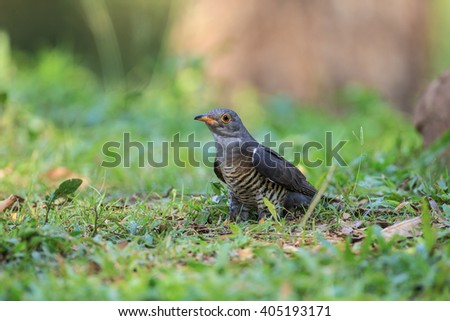 Beautiful of Cuckoo Bird, Indian Cuckoo (Cuculus micropterus) bird, showing it side profile in nature of Thailand - stock photo