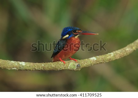 Beautiful of Kingfisher Bird, Female of Blue-eared Kingfisher Bird, Standing on branch, Showing its side profile, in nature at Khaoyai National park of Thailand,
