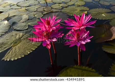 Beautiful of lotus flower is complimented by the rich colors of the deep blue water surface.