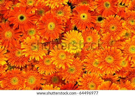 beautiful of Orange chrysanthemum flowers background - stock photo