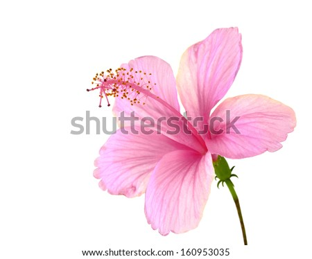 Beautiful of Pink Hibiscus Flower with fully petal's details isolated on white background - stock photo