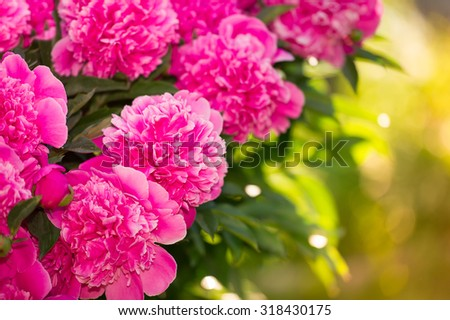 Beautiful of Pink Peony Flowers in the Garden - stock photo