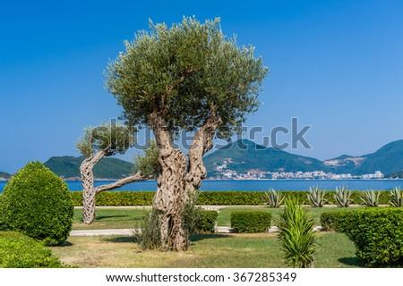 Beautiful olive tree in the park. Adriatic sea shore, Sveti Stefan, Montenegro. - stock photo