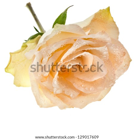 Beautiful one single cream rose bud with water drops isolated on white background - stock photo