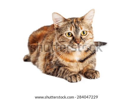 Beautiful orange and black color young Tortie breed cat laying on a white background