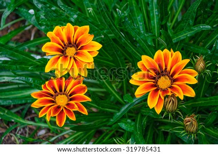 Beautiful orange and red flowers in macro. - stock photo