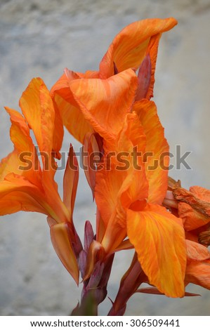 Beautiful orange blossom in front of a wall