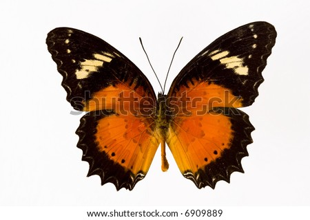 Beautiful orange butterfly from tropics