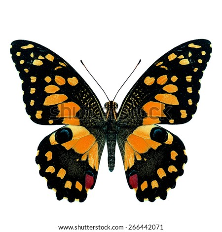 Beautiful orange butterfly, Papilio demoleus Linnaeus in fancy color profile isolated on white background, soft focus - stock photo