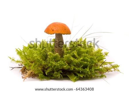 Beautiful Orange-cap boletus mushroom on moss. Isolated on studio white background - stock photo