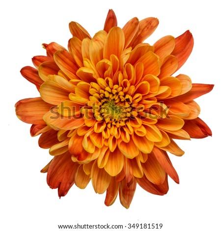 Beautiful orange chrysanthemum flower isolated on white background - stock photo