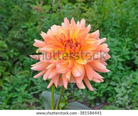Beautiful orange Dahlia flower with green leaves. Colorful orange dahlia flower. Dahlia close-up - stock photo