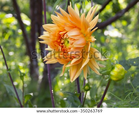 Beautiful orange flower dahlia garden - stock photo