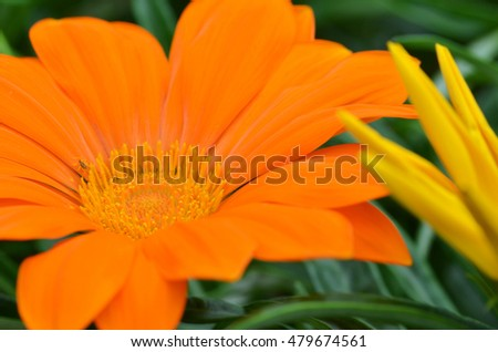 Beautiful orange gazania flower blooming in Gardens by the Bay, Singapore