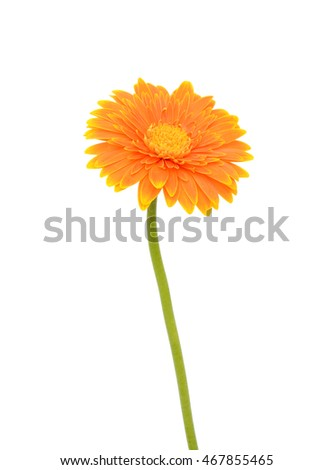 beautiful orange gerbera flower isolated on white background