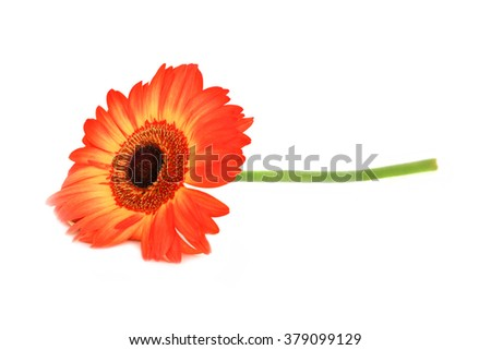 Beautiful Orange Gerbera Flower with Black Center. Close-up Isolated on White Background - stock photo