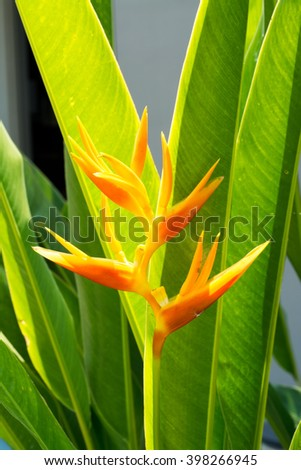 Beautiful orange Heliconia flower blooming front of leaves in sunshine day - stock photo