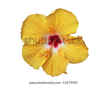 beautiful orange hibiscus isolated against white background - stock photo