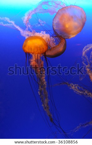 Beautiful orange jellyfish over blue background - stock photo