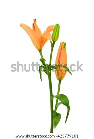 Beautiful orange lily flower isolated on white background - stock photo