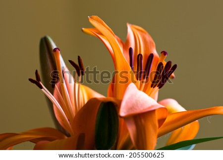 Beautiful orange lily set against a light brown background - stock photo