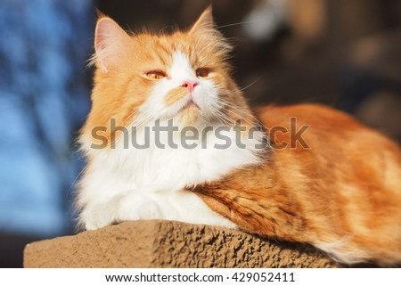 Beautiful Orange Long Haired Bi Color Doll Face Traditional Persian Cat Laying on Ledge Looking Upwards to the Side - stock photo
